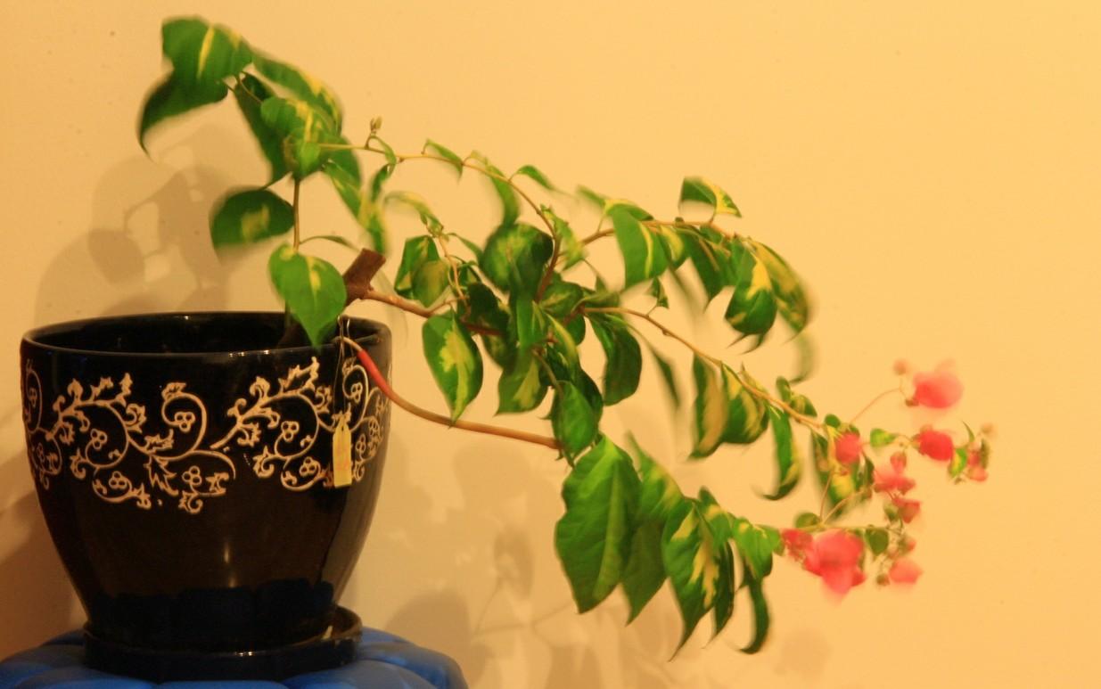常见室内植物(养殖要领)
