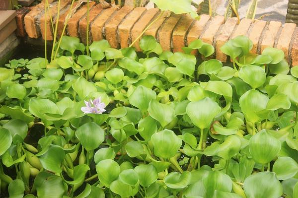 植物 色彩 鼓浪屿/这种植物有着大名鼎鼎的名字