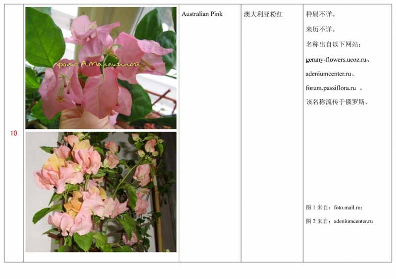 名称未核准的三角梅栽培品种收录表011.jpg