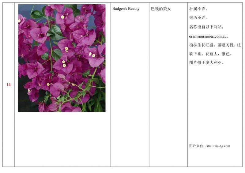 名称未核准的三角梅栽培品种收录表015.jpg