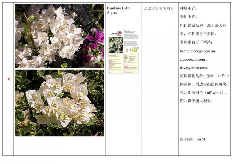 名称未核准的三角梅栽培品种收录表017.jpg