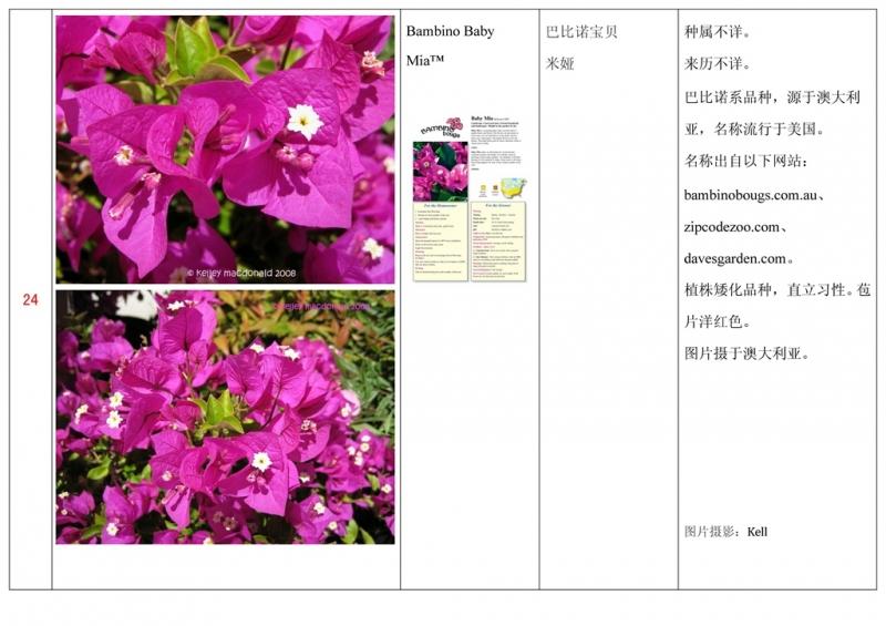 名称未核准的三角梅栽培品种收录表025.jpg
