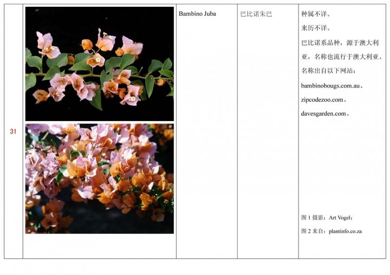 名称未核准的三角梅栽培品种收录表032.jpg