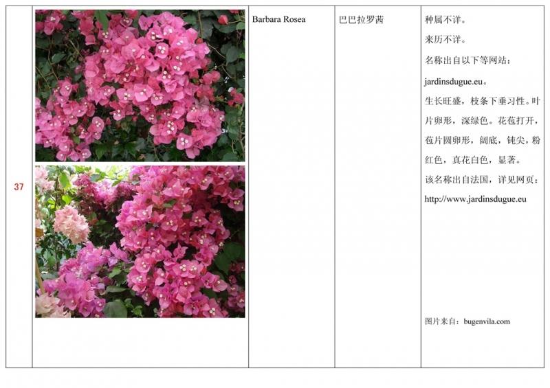 名称未核准的三角梅栽培品种收录表038.jpg
