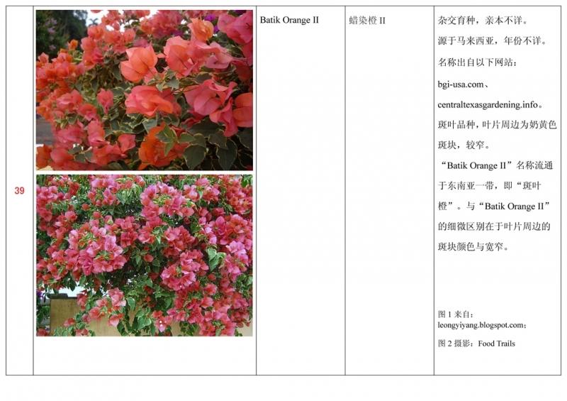 名称未核准的三角梅栽培品种收录表040.jpg