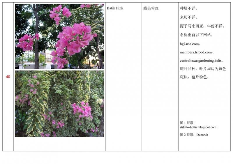 名称未核准的三角梅栽培品种收录表041.jpg
