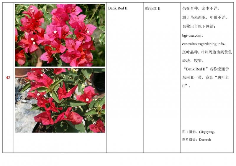 名称未核准的三角梅栽培品种收录表043.jpg
