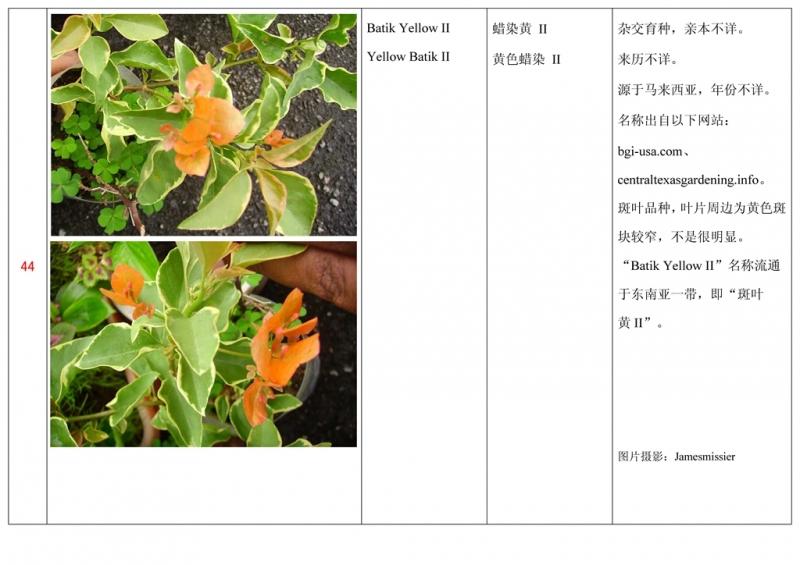 名称未核准的三角梅栽培品种收录表045.jpg