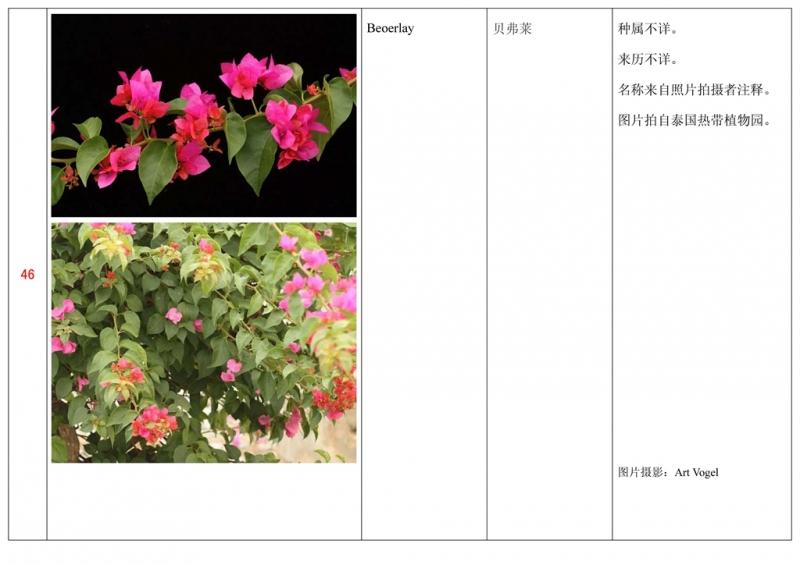 名称未核准的三角梅栽培品种收录表047.jpg