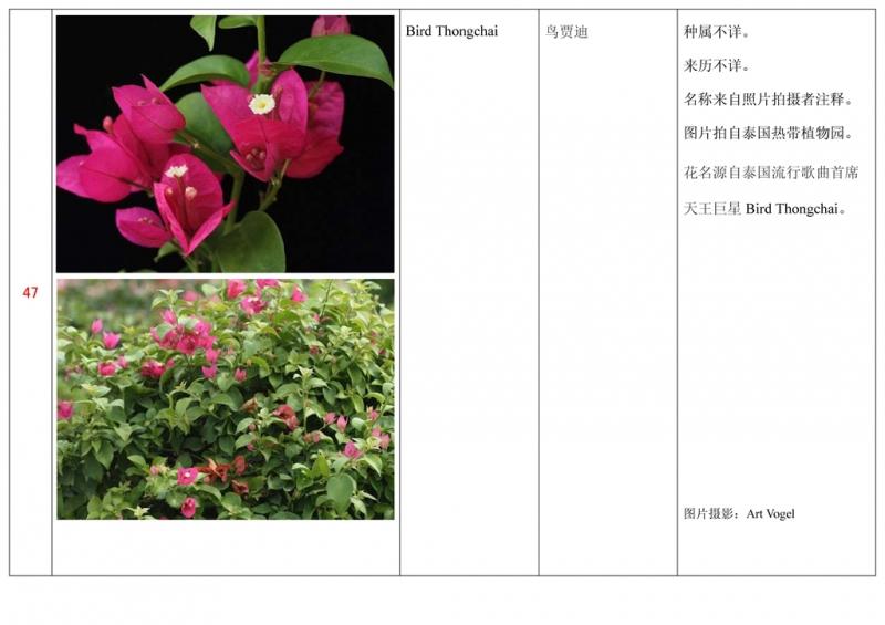 名称未核准的三角梅栽培品种收录表048.jpg