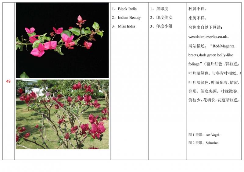 名称未核准的三角梅栽培品种收录表050.jpg