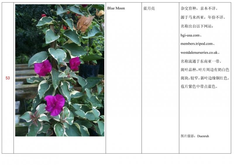 名称未核准的三角梅栽培品种收录表054.jpg