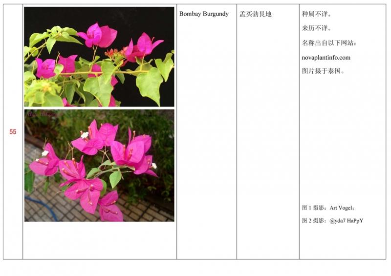名称未核准的三角梅栽培品种收录表056.jpg