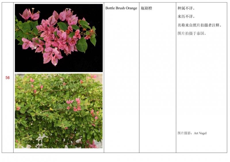 名称未核准的三角梅栽培品种收录表057.jpg