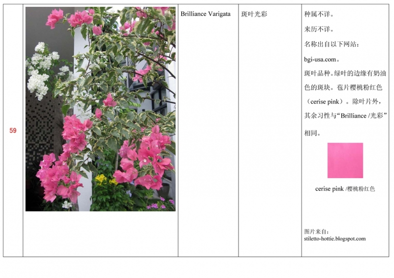 名称未核准的三角梅栽培品种收录表060.jpg