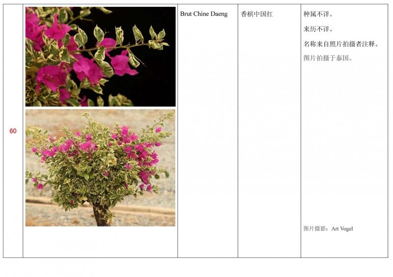 名称未核准的三角梅栽培品种收录表061.jpg