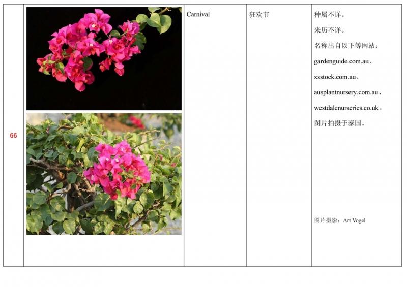 名称未核准的三角梅栽培品种收录表067.jpg
