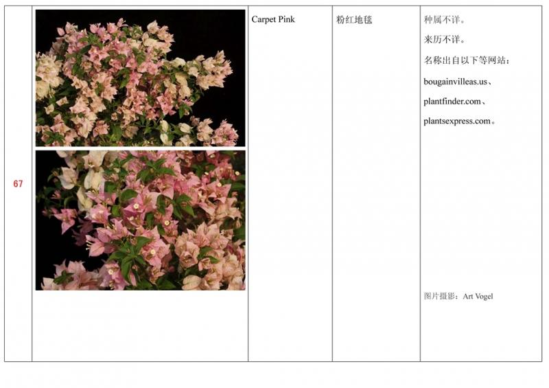 名称未核准的三角梅栽培品种收录表068.jpg