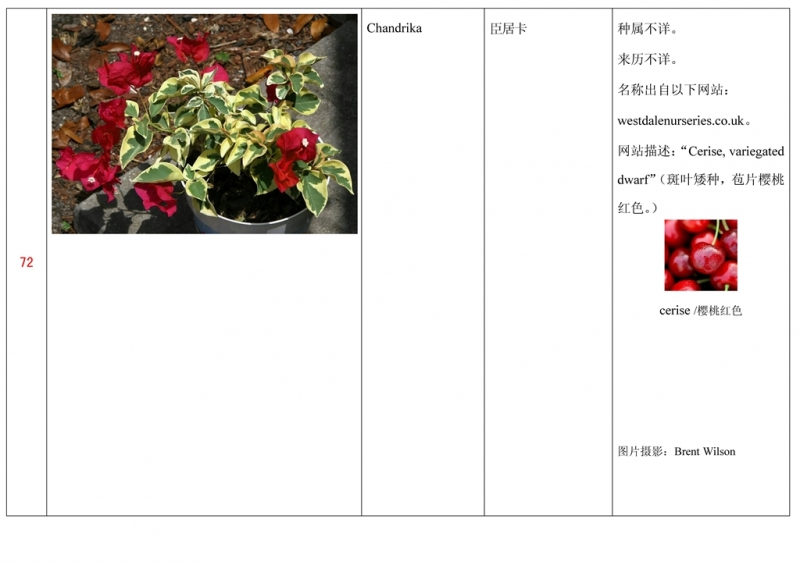 名称未核准的三角梅栽培品种收录表073.jpg