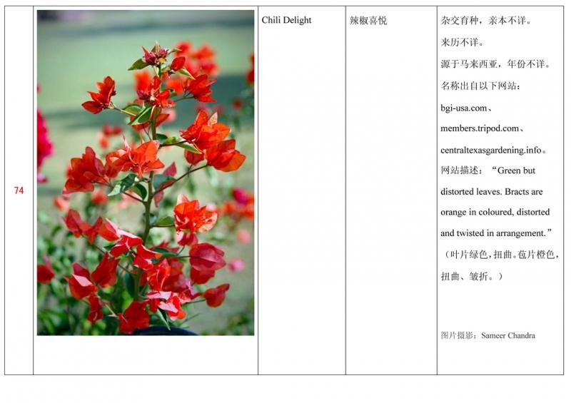 名称未核准的三角梅栽培品种收录表075.jpg