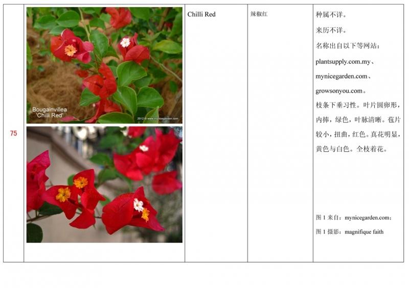 名称未核准的三角梅栽培品种收录表076.jpg