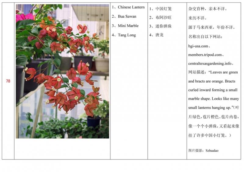 名称未核准的三角梅栽培品种收录表079.jpg