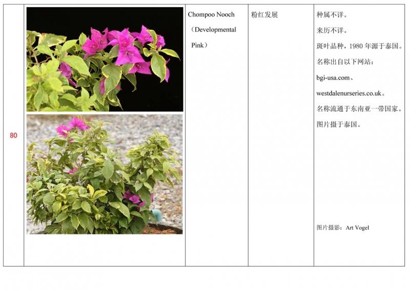 名称未核准的三角梅栽培品种收录表081.jpg