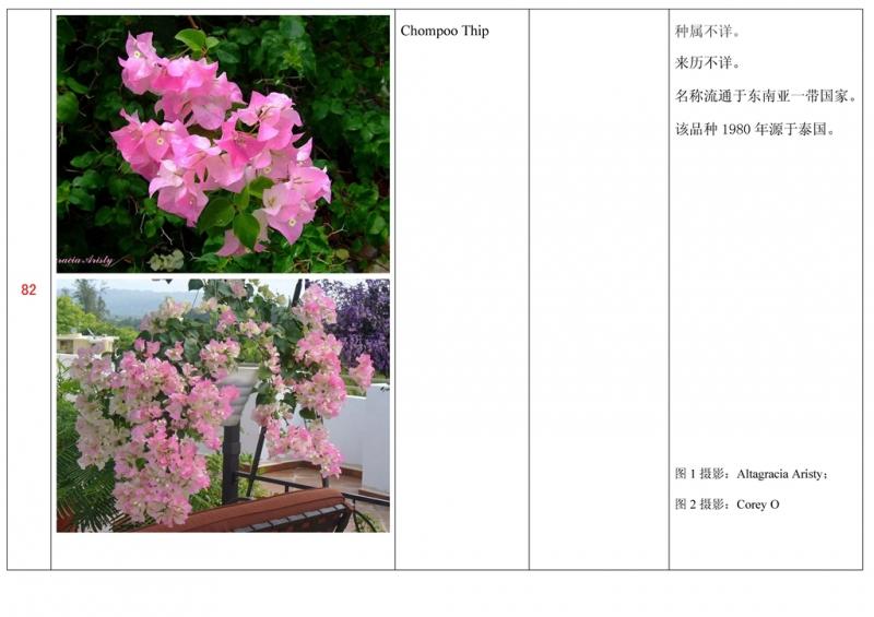 名称未核准的三角梅栽培品种收录表083.jpg