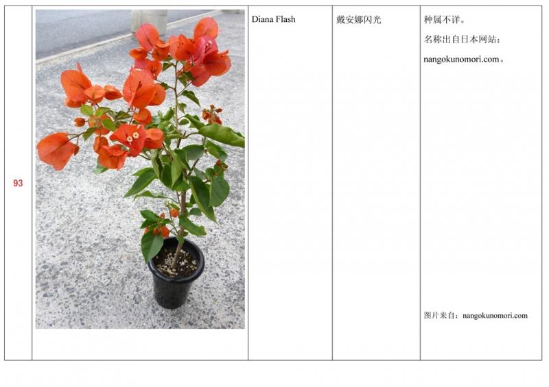 名称未核准的三角梅栽培品种收录表094.jpg