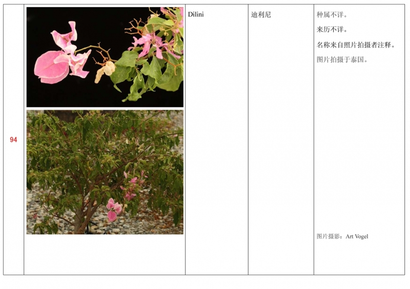 名称未核准的三角梅栽培品种收录表095.jpg