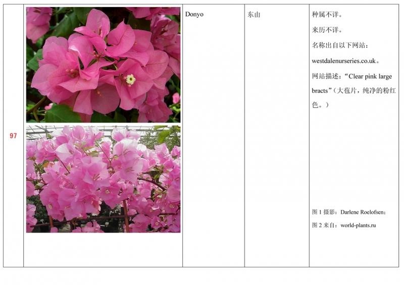 名称未核准的三角梅栽培品种收录表098.jpg