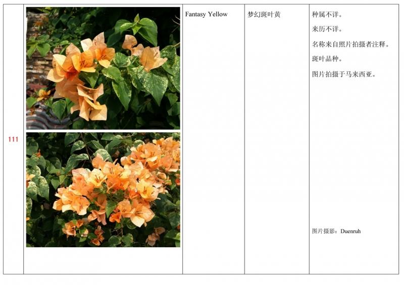 名称未核准的三角梅栽培品种收录表112.jpg
