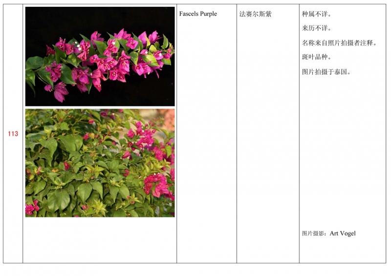 名称未核准的三角梅栽培品种收录表114.jpg