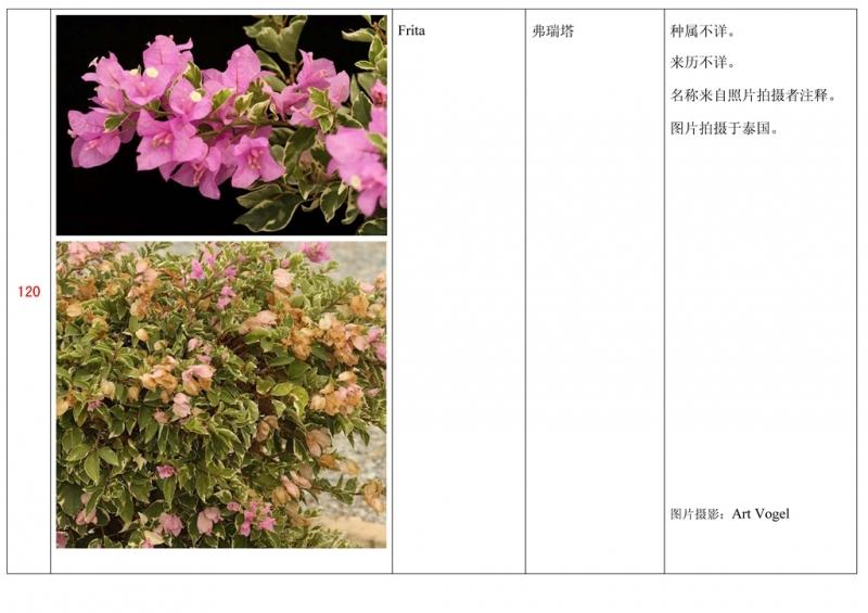 名称未核准的三角梅栽培品种收录表121.jpg
