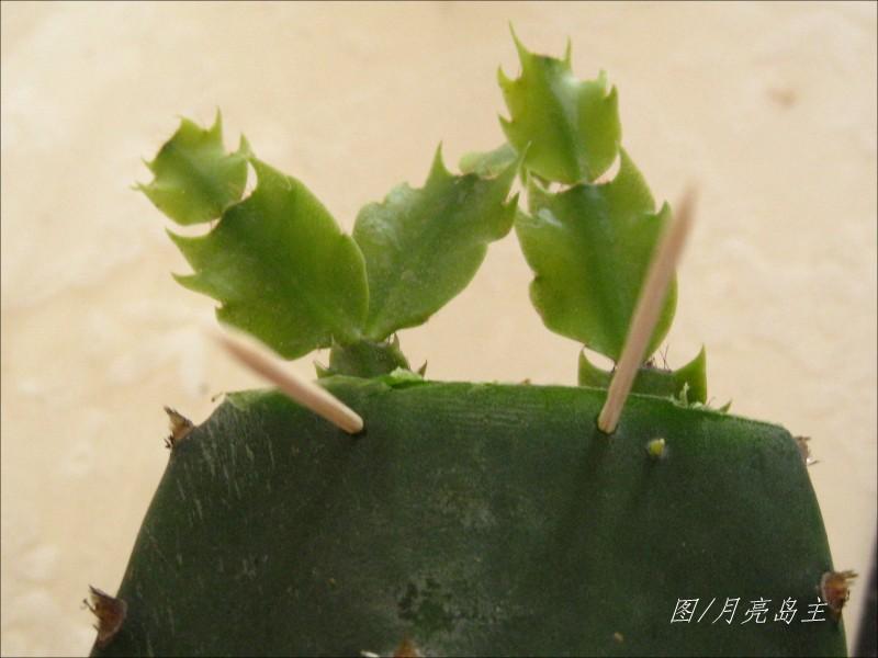 仙人掌 花卉 蟹爪兰/缺点是:砧木切口不为的髓会失水而收缩,易形成凹下去的小坑。