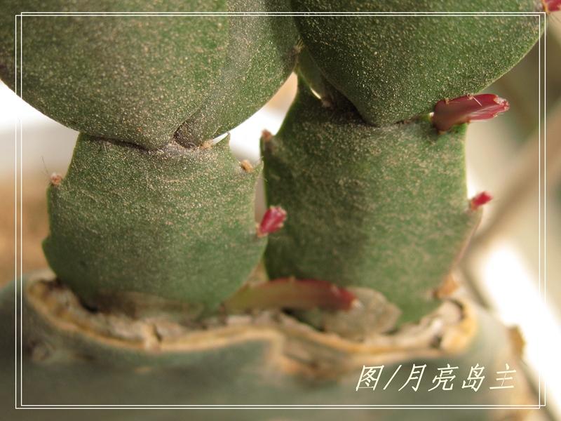 仙人掌 花卉 蟹爪兰/IMG_1176.jpg