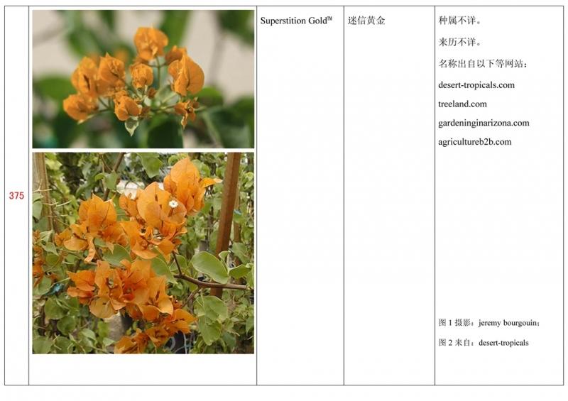 名称未核准的三角梅栽培品种收录表376.jpg