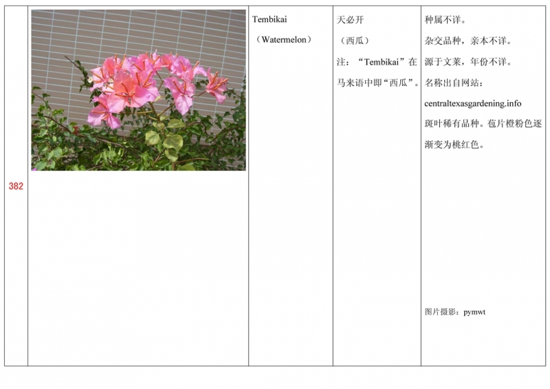 名称未核准的三角梅栽培品种收录表383.jpg
