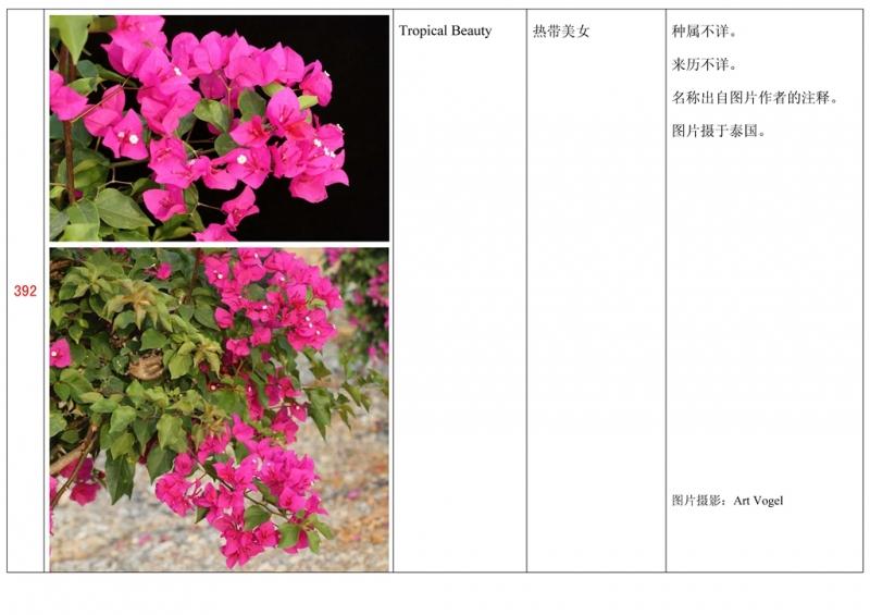 名称未核准的三角梅栽培品种收录表393.jpg