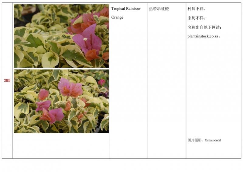名称未核准的三角梅栽培品种收录表396.jpg
