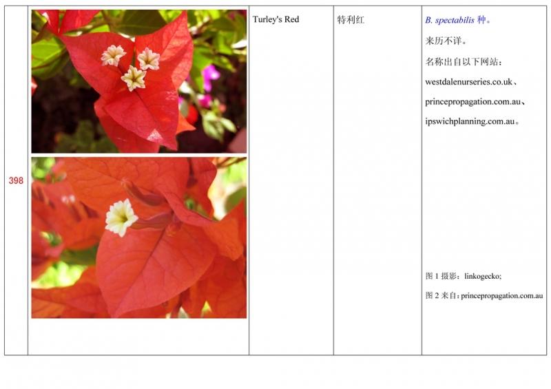 名称未核准的三角梅栽培品种收录表399.jpg