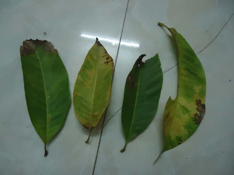 请问一下桂树和玉兰树叶子枯黄了怎么回事?