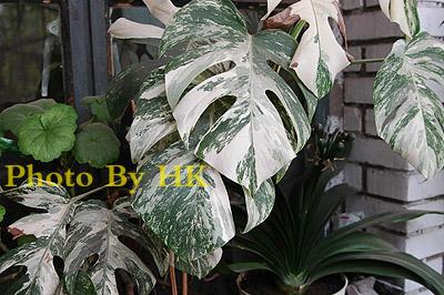 珍稀的斑叶龟背竹-木本植物-藏花阁园艺论坛家庭园艺