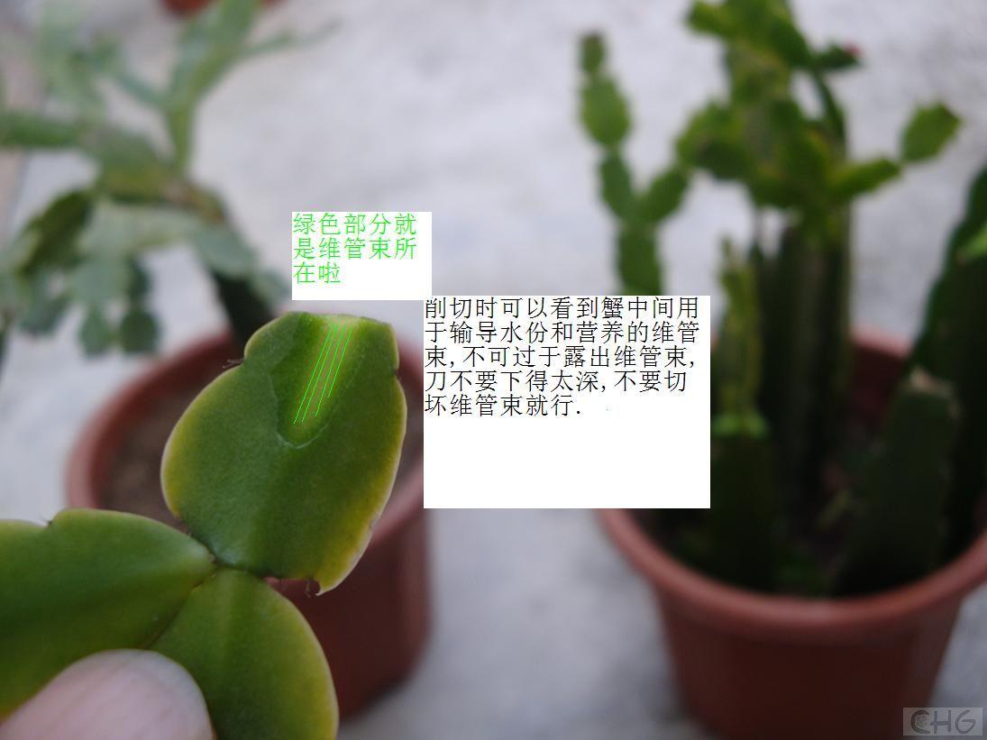 求教 三角柱嫁接 蟹爪兰的问题 多浆植物 仙人之