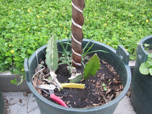 我的盆栽火龙果成长日记 8月6日终于开花了