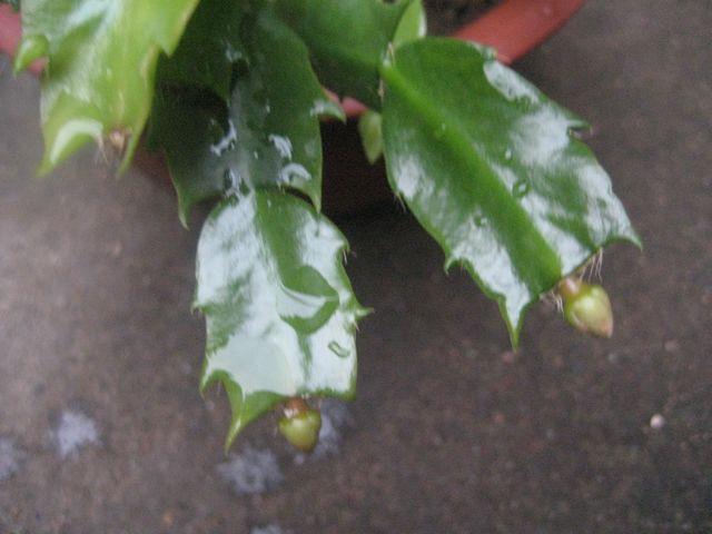 蟹爪兰 花卉/这是蟹爪兰图片,你可以对照下