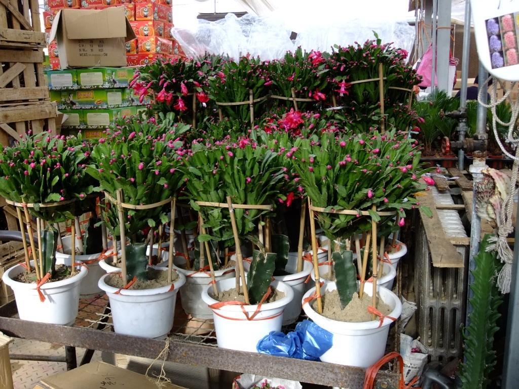 北京/嫁接在三棱箭上的蟹爪兰,有点是株型好看,生长旺盛;缺点是...